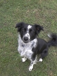 Gipsy, chien Border Collie