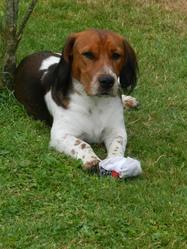 Gipsy, chien Beagle