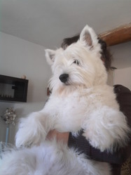 Gipsy, chien West Highland White Terrier