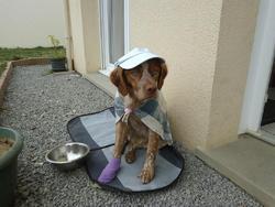 Gipsy, chien Épagneul breton