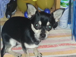 Gipsy, chien Chihuahua