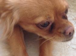 Gipsy, chien Épagneul japonais