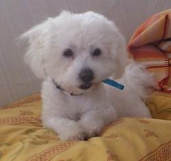 Gipsy, chien Coton de Tuléar