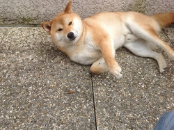 Gipsy, chien Shiba Inu