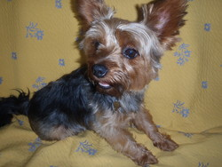 Gipsy, chien Yorkshire Terrier