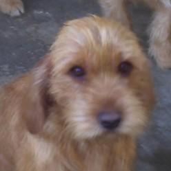 Gipsy De La Font De L'Arca, chien Basset fauve de Bretagne
