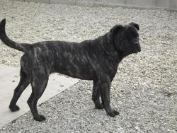 Gipsy Du Temple Du Phoenix, chien Dogue de Majorque