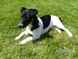 Gipsy Etmilou, chien Jack Russell Terrier