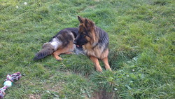 Girly, chien Berger allemand