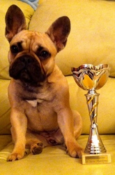 Girly Dalika, chien Bouledogue français
