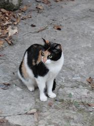 Giroflée, chat Européen