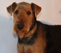 Giroflée, chien Airedale Terrier