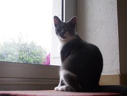 Girouette, chat Européen