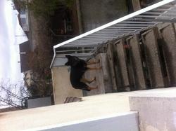 Giscard, chien Berger allemand