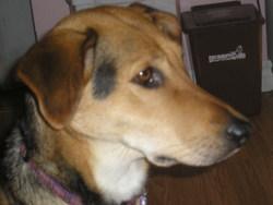 Gisèle , chien