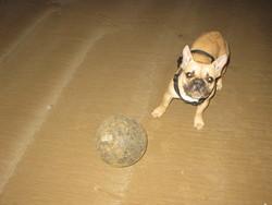 Gisele, chien Bouledogue français
