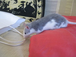 Gismo, rongeur Rat
