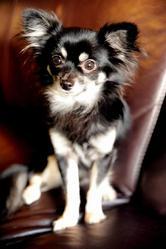 Gismo, chien Chihuahua