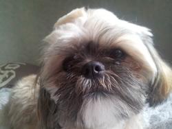 Gispy, chien Shih Tzu