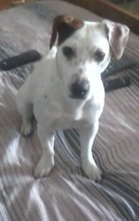 Gispy, chien Jack Russell Terrier