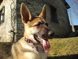 Gitane, chien Berger allemand