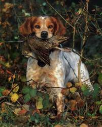 Gitane, chien Épagneul breton
