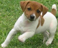Gitane, chien Jack Russell Terrier