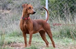 Gitane De La Tour De Cruzières, chien Pinscher