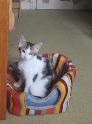 Gitano, chat Gouttière