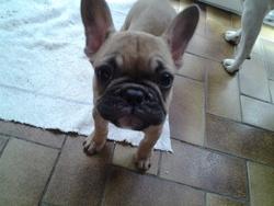 Giulia, chien Bouledogue français