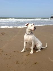 Giulia, chien Dogue argentin