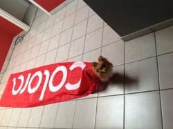 Giulia, chien Spitz allemand