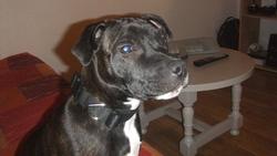 Giulietta, chien Staffordshire Bull Terrier