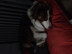 Giune, chien Berger australien