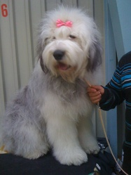 Give Me Love, chien Bobtail