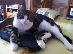 Gizmo, chat Européen