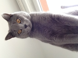 Gizmo, chat Chartreux