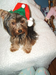 Gizmo, chien Yorkshire Terrier