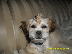 Gizmo, chien Shih Tzu