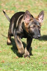 Gizmo, chien Berger allemand
