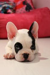 Gizmo, chien Bouledogue français