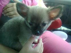 Gizmo, chien Chihuahua