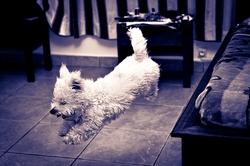 Gizmo, chien Coton de Tuléar