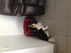 Gizmo, chien Cavalier King Charles Spaniel