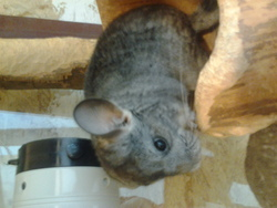 Tombeuse, rongeur Chinchilla