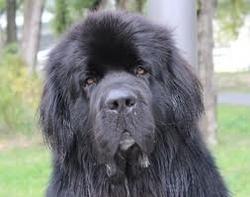 Gizmo, chien Terre-Neuve