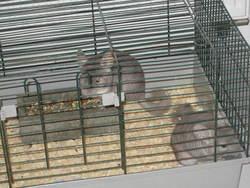 Gizmo, rongeur Chinchilla