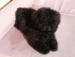Gizmo, chien Caniche