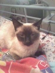 Gizmo, chat Thaï