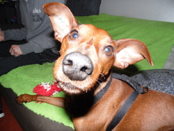 Gizmo, chien Pinscher